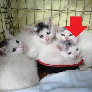白のふわふわチビ猫(♀)兄弟います