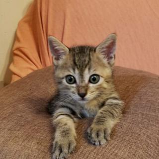 まだまだ赤ちゃん子猫の可愛いキジトラ♂2ヵ月