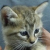 里親様に迎えられました。子猫♀233