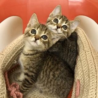 マナ&カナ超可愛い丸顔キジトラ姉妹
