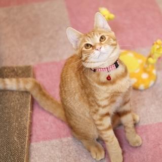 丸顔の美猫、茶トラ女子!