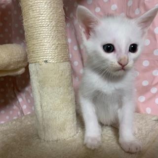 美しい白猫・ハットくん