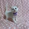美しい白猫・ハットくん サムネイル2