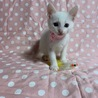 美しい白猫・ベレーちゃん サムネイル4