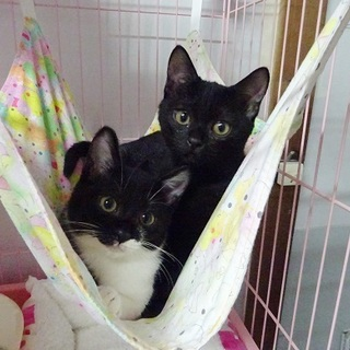 島の姉妹猫を迎えてくださいませんか?
