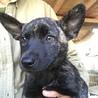 生後2ヶ月ちょっとの甲斐犬mixの女の子2匹 サムネイル2