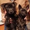 生後2ヶ月ちょっとの甲斐犬mixの女の子2匹 サムネイル3