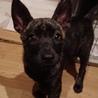 生後2ヶ月ちょっとの甲斐犬mixの女の子2匹 サムネイル5