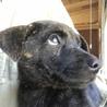 生後2ヶ月ちょっとの甲斐犬mixの女の子2匹 サムネイル6