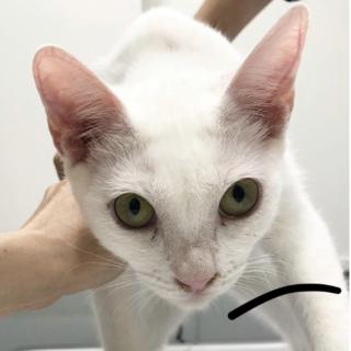 多頭崩壊猫② 美人しろちゃん姉妹 家族募集中!
