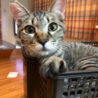 キジトラ猫の大輔くんです。
