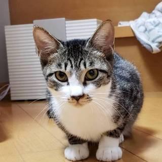 猫大好き‼先住猫のお友達に☆コウちゃん5ヶ月