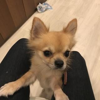 チワワミックス 子犬(咬みます)
