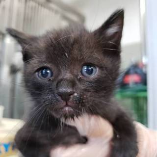 処分間近 小さい小さい子猫 動画あり