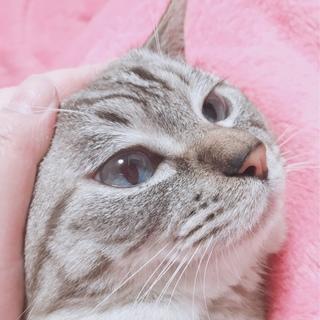 綺麗なブルーアイの甘えん坊ネコちゃん♪