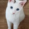 ブルーアイズ 青い瞳の美人さん・人馴れ練習中