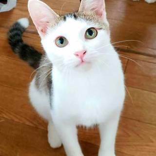 若い三毛風キジ白ツンデレ美人♡淡いピンクのお鼻