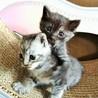 台風被害現場から保護した子猫兄妹 1.5ヶ月