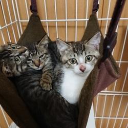 ハチワレの子猫達