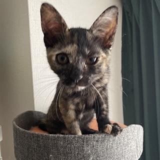 サビ猫ちゃん推定2ヶ月