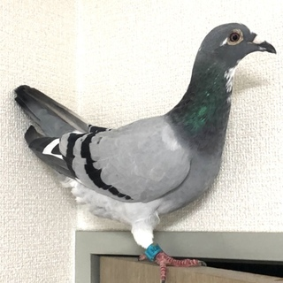 保護したレース鳩を可愛がってくださる方いませんか?