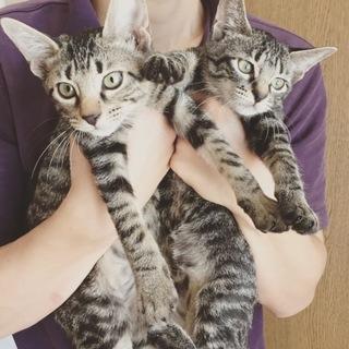 生後3ヶ月くらいの兄妹猫です