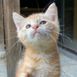 愛らしいオスの茶トラ風の子猫です。