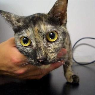 !!緊急!!保健所にいる迷子のサビ猫