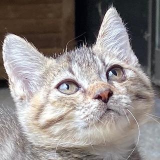 お茶目なキジトラ風メスの子猫です。