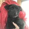 生後2ヶ月ちょっとの甲斐犬mixの女の子2匹 サムネイル7