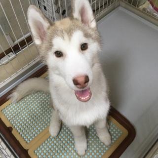シベリアンハスキーの仔犬です