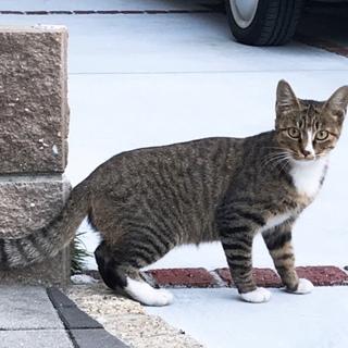 美猫!キジ白1歳未満です。
