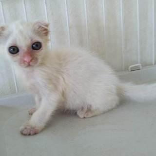 垂れ耳の白い仔猫くるみちゃん
