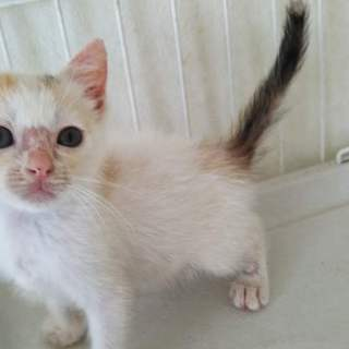 白三毛の仔猫みなちゃん