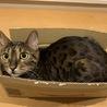 ベンガル猫雄 2歳 血統書付 健康  サムネイル7