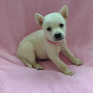 小さな立ち耳が可愛いリリちゃん 1ヶ月半