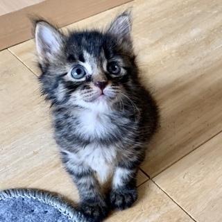 ふわふわ長毛美猫…ゆゆちゃん2ヶ月