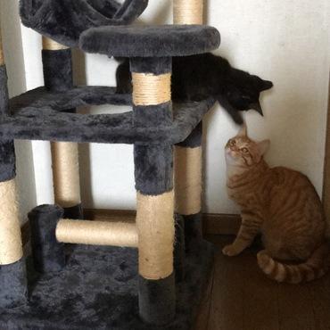 仲良く見えますが、先住猫は遊び相手だと思っている。ジジは大男を相手にしているという温度差を感じます。