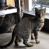【急募】なつっこいキジトラ子猫です