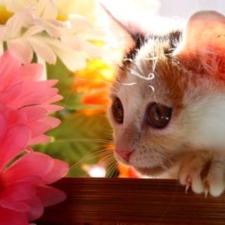 千秋♡とってもきれいな白ミケジョ!美猫です