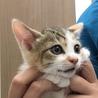 【10/27お台場】美猫5兄妹の三毛猫ひまわり