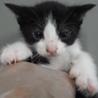里親様を待っています。子猫♀240