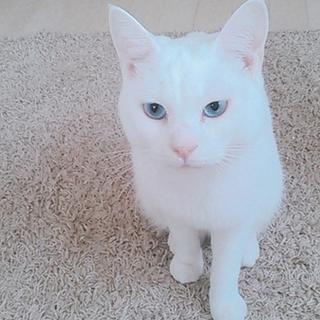 ブルーアイの白猫くん