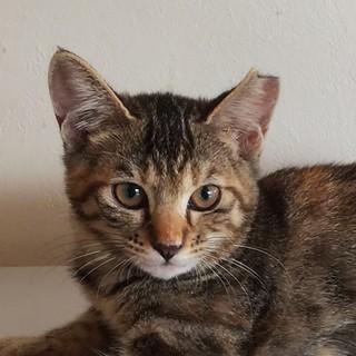 可愛いキジサビちゃん 生後3ヶ月