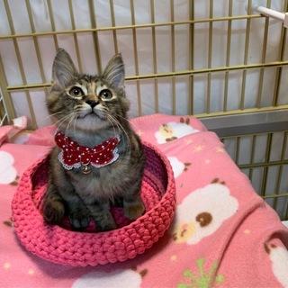 ソマリ猫風の美しい長毛子猫ちゃん