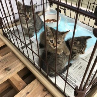 静岡県内で生後1ヵ月半の猫3匹の里親募集中