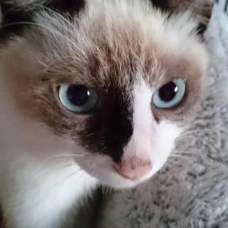 まんまる顔・シャム柄♪コロコロ仔猫♪
