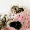 【10/20銀座】ベンガル猫風!人懐っこい伊織くん