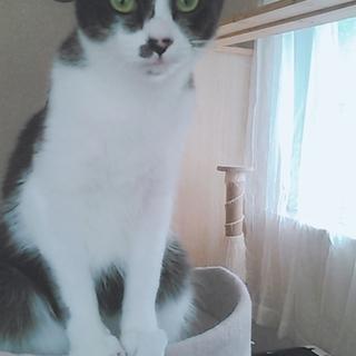 グレ白の小柄なカワイイ猫ちゃん