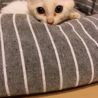 白猫 2ヶ月♂